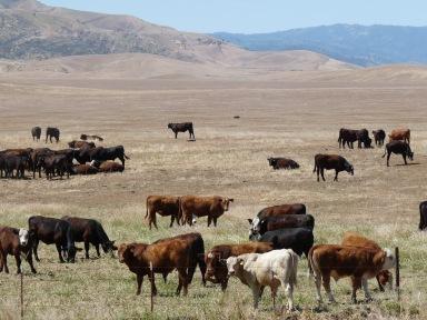 Cattle grazing in California